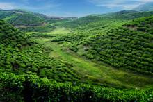 Tea Plantation With Green Fresh Leaves In Sumatra Island,indonesia