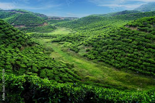 Photo  Tea plantation with green fresh leaves in sumatra island,indonesia