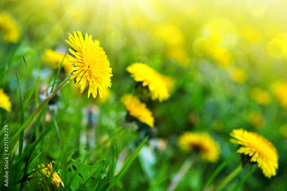 Yellow blooming dandelions in a green lawn.