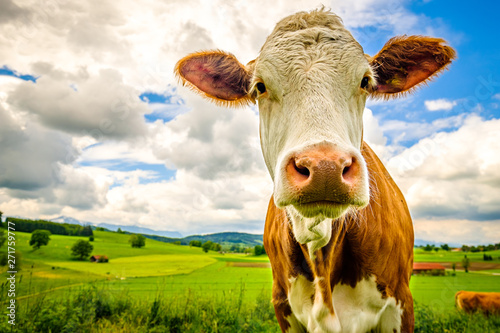 Acrylic Prints Cow funny cow