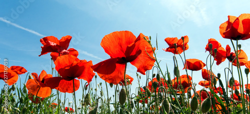 Wide angle shot of a spring meadow with red poppy, sky, clouds and sun - 271760159