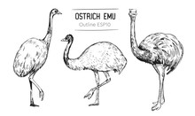 Sketch Of An Ostrich. Hand Dra...