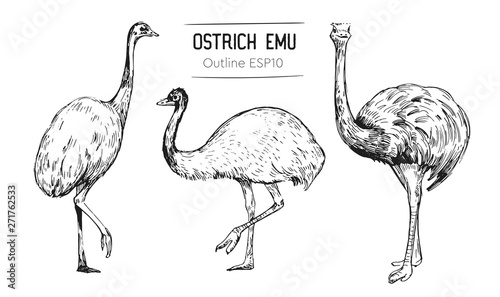 Cuadros en Lienzo Sketch of an ostrich. Hand drawn illustration converted to vector