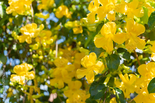 Papel de parede Beautiful yellow flowers with green leaves  background ,Cat's Claw, Catclaw Vine