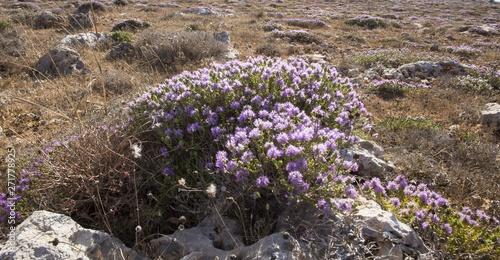 Cuadros en Lienzo Mediterranean thyme, Conehead thyme,  Thymbra capitata