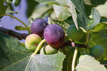 Autumn. Branch Of  Fig Tree ( Ficus Carica ) With Leaves And Bright Colorful Fruits