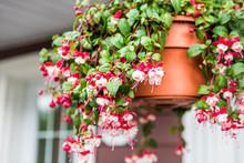 Macro Closeup Of Hanging Red And White Fuchsia Flowers
