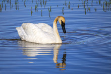 Trumpeter Swan In Yellowstone ...