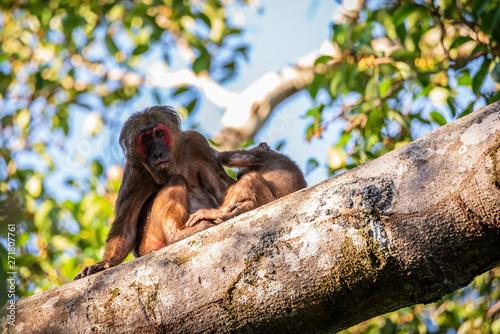 Fotografie, Obraz  Macaca arctoides raising children on trees