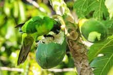 Ouvea Parakeet Eating Papaya O...