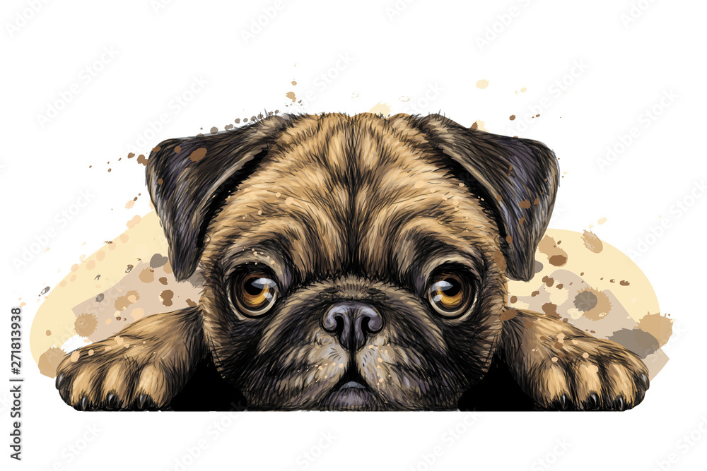 Fototapeta Pug. Wall sticker. Artistic graphic, hand-drawn color portrait of the head of a pug breed dog on a white background with splashes of watercolor. - obraz na płótnie