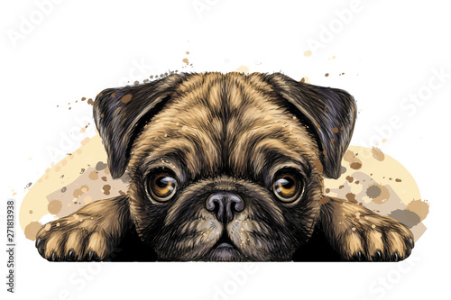 Pug. Wall sticker. Artistic graphic, hand-drawn color portrait of the head of a pug breed dog on a white background with splashes of watercolor.