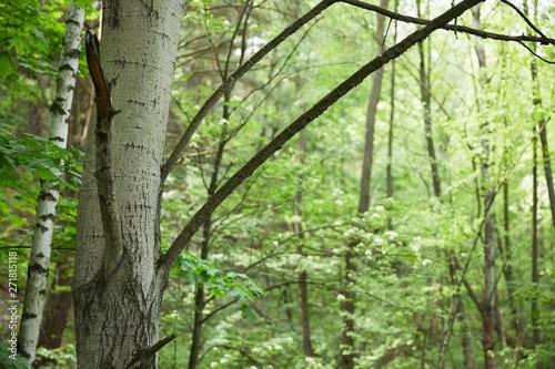 Montage in der Fensternische Grun birch trunks and branches with green forest on background