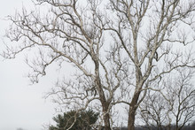 Large American Sycamore Tree Platanus Occidentalis With Nuts Or Fruit In Winter Against White Cloudy Sky
