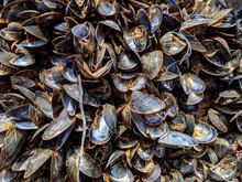 Cluster Of Dead Mussels In The Early Morning Light