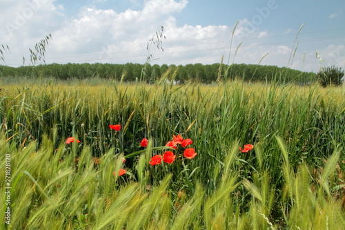 Fotografie, Tablou  papaveri, spighe di grano ed alberi, poppies, ears of wheat and trees