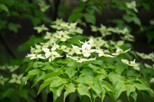 Kousa Dogwood (Japanese Flower...