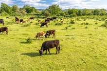 A Herd Of Cattle Heck, Grazing In A Clearing On A Spring Sunny Day In Western Germany.