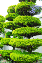 Bonsai Trees Planted In Beauti...