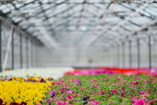 Large Light Greenhouse With A Lot Of Seedlings And Flowers. Red, Yellow And Green Plants.
