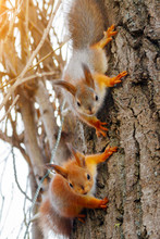 Two Young Red Squirrels Are Looking At The Camera On A Tree Trunk. Sciurus Vulgaris, Vertical View