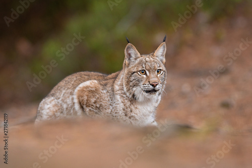 Aluminium Prints Lynx Common lynx resting in the forest. The largest European cat in a natural setting. Attractive autumn portrait of a lynx