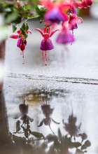 Pink Flowers Reflecting In The...