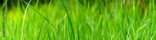 Fototapeta trawa   panoramiczny-widok-na-zielona-trawe-na-zielonym-kolorowym-tle-bokeh-panorama-dzikiej-trawy