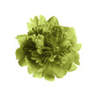 Fragrant bright peony on white background. Beautiful spring flower