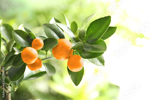 Citrus fruits on branch against blurred background. Space for text - 271864741
