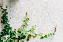 Climbing Plant On A Wall