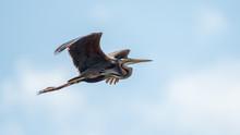 Isolated Close Up Of A Single Purple Heron Bird In Flight- Danube Delta Romania