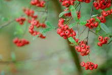 Close Up Of Bright Red Pyracantha Berries