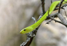 The Western Green Mamba (Dendroaspis Viridis) Is Extremely Venomous Snake Native To Africa.