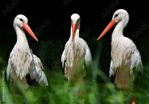 Naklejki Bocian  white-stork-ciconia-ciconia-on-dark-background
