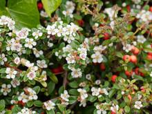 (Cotoneaster Dammeri) Teppich-Zwergmispel. Zweig Mit Laub Und Frühling Weiße Blüten