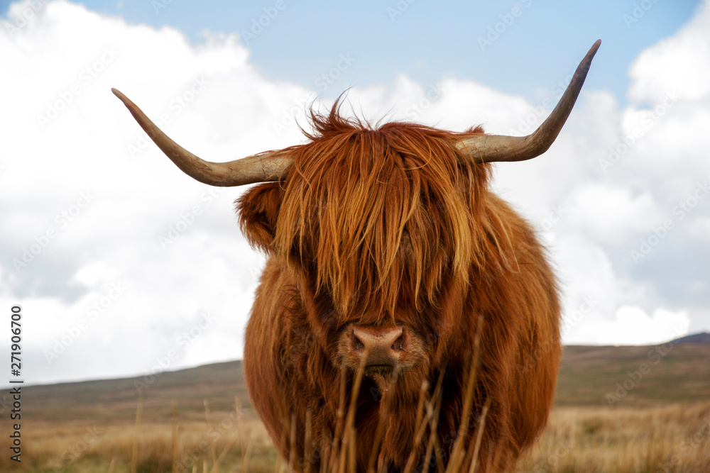 Fototapeta Highland cow standing in field with hills in the background