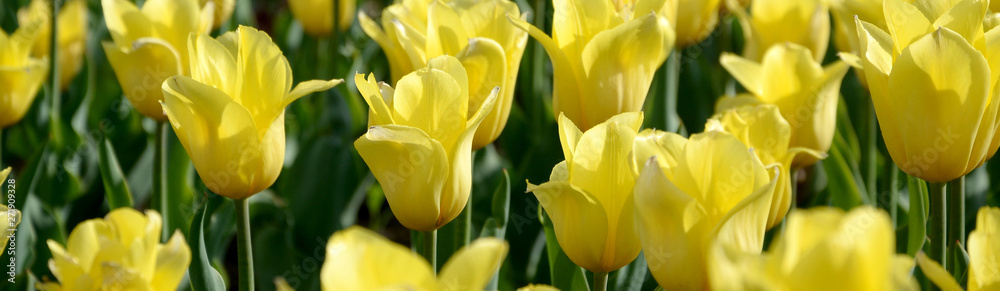 Fototapety, obrazy: Bright colorful yellow tulip blossoms in spring time