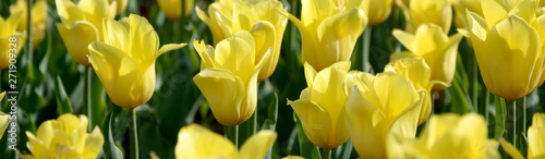 Foto op Canvas Tulp Bright colorful yellow tulip blossoms in spring time