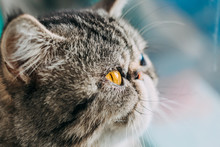 Exotic Shorthair Cat Breed Macro Photo. Eye Of A Cat Close Up