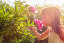 Happy Little Girl Smelling Fragrant Pink Peonies.