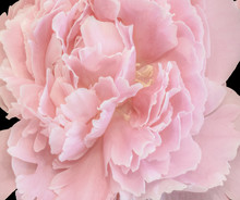 Isolated Single Pink Peony Blo...