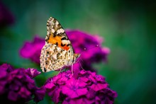 Vanessa Cardui Butterfly Color Flowers Macro Insect