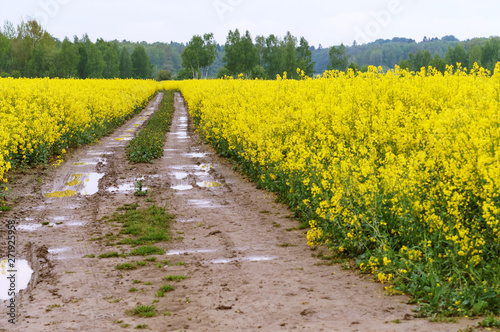 a flowering plant, sowing crops of rapeseed #271925958
