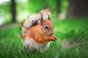 Funny red squirrel in park ...