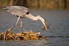 Grey Heron Is Eating The Fish. Bird Behavior In Natural Habitat.