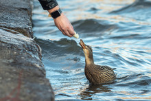 A Man Feeds A Duck From His Hand