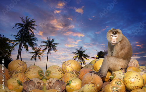 Monkey sitting on coconut pile after harvest and looking camera at sunset time,isolated on white background