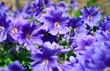 Viele Geranium-Blüten