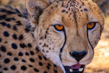 Looking Into A Cheetahs Eyes W...